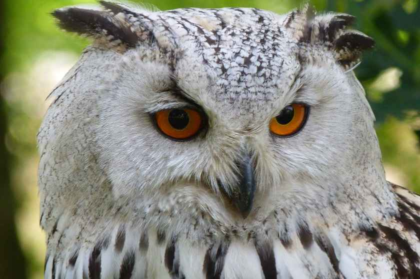owl-bird-animal-eagle-owl-69769.jpeg